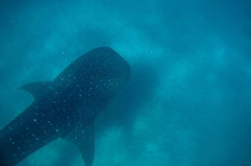 tiburon ballena isla de mafia