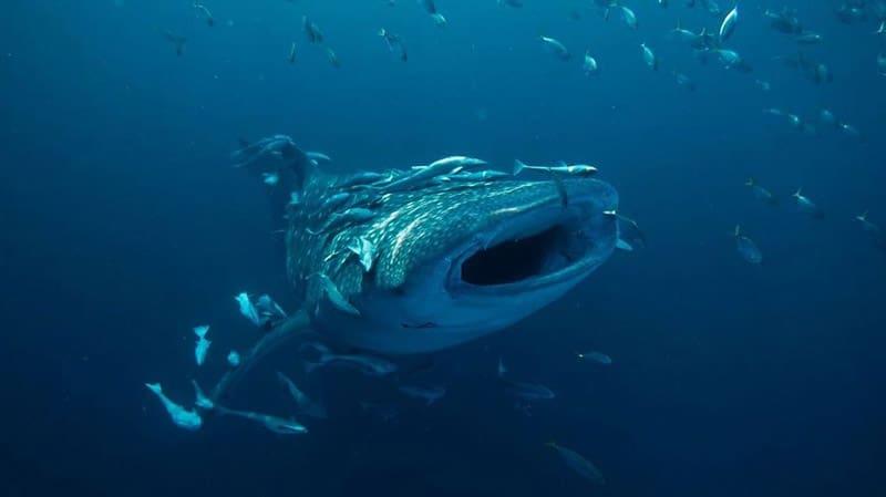 tiburon ballena en el mar rojo