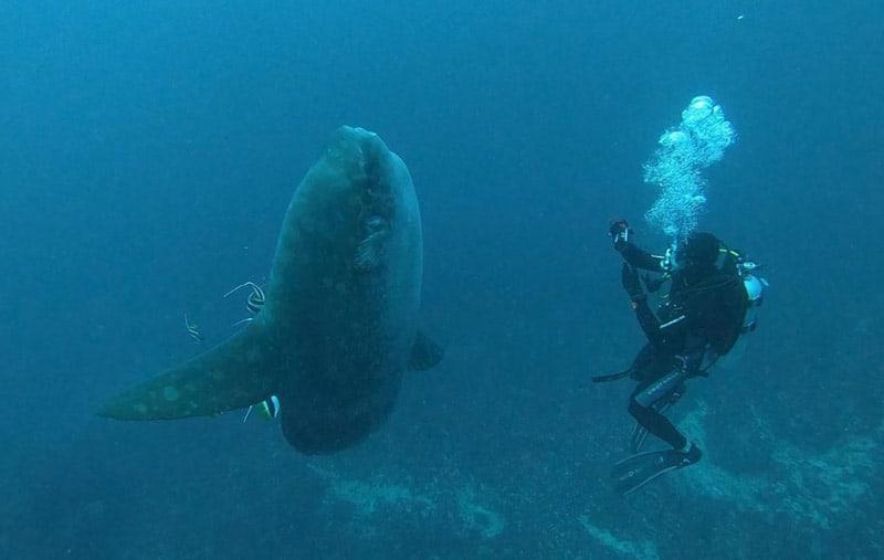bucear en bali con el pez mola mola