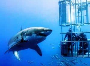 buceo en isla guadalupe con el gran tiburon blanco