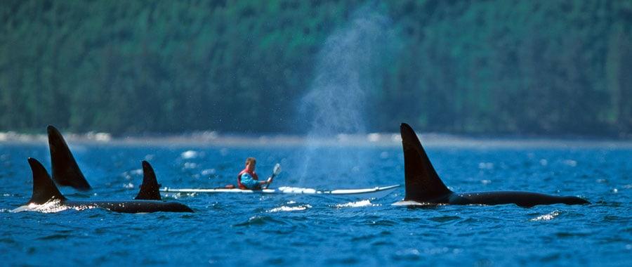 kayak con orcas en canada