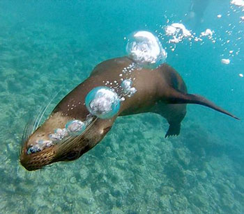 leon marino en islas galapagos