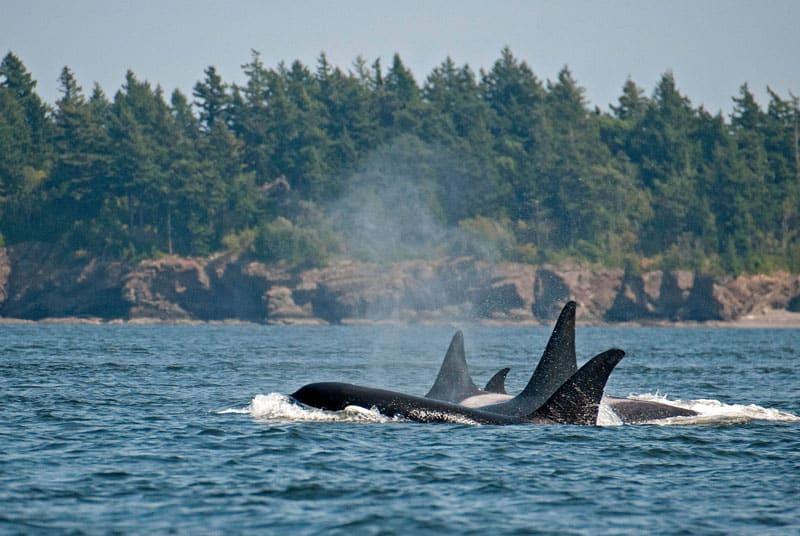orcas en nueva zelanda