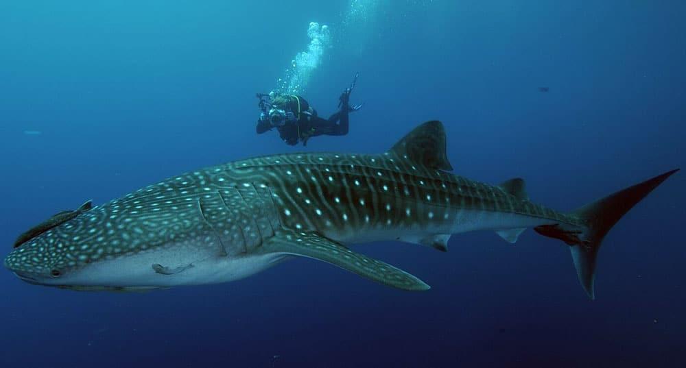 tiburon ballena maldivas