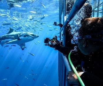 tiburon blanco en la isla guadalupe