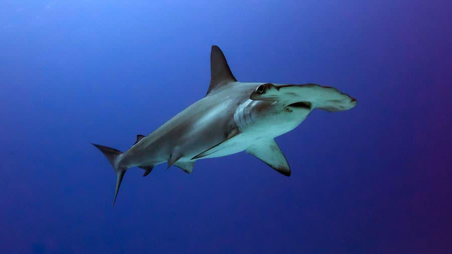 tiburón martillo en maldivas