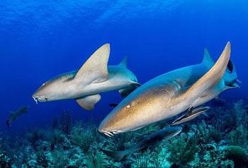tiburon nodriza belice