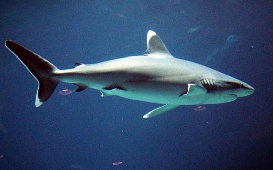 tiburón de puntas blancas buceo en maldivas