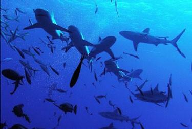 tiburones north horn australia