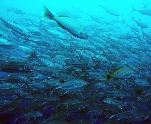 peces en playa papagayo