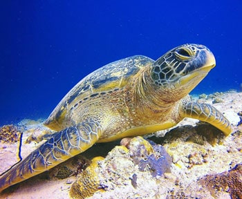 tortuga en islas maldivas