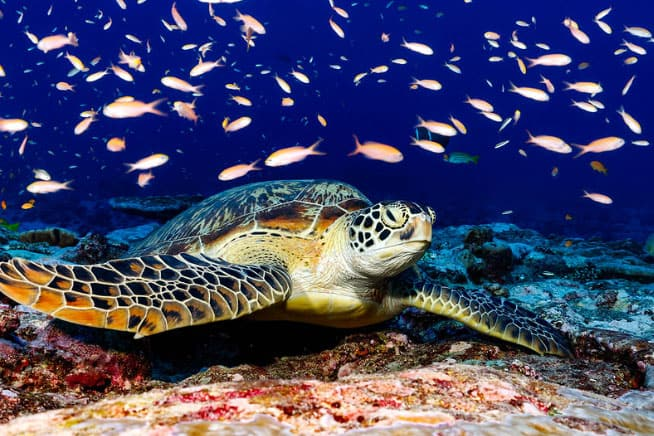 tourtuga en maldivas atolon norte male