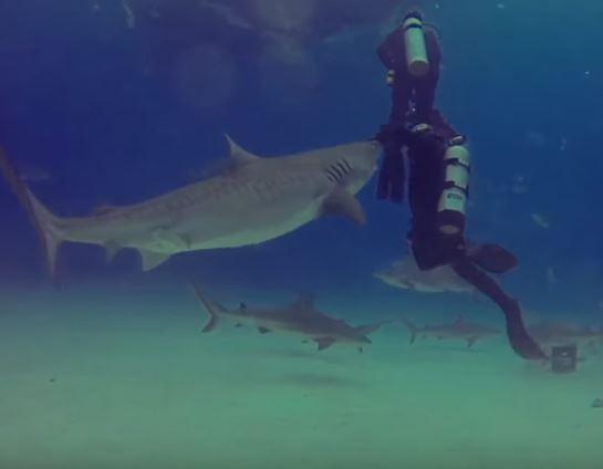 tiburon tigre ataque