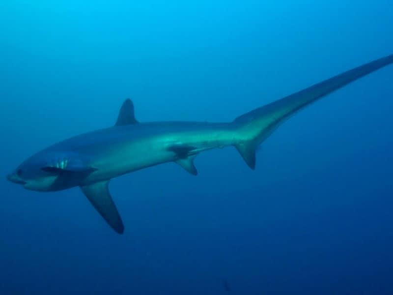 tiburon zorro en malapascua