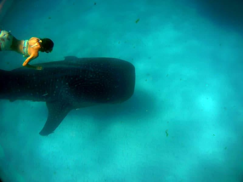 buceo con el tiburon ballena en tofo mozambique