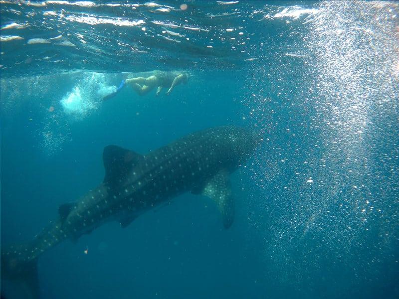 tiburon ballena tanzania