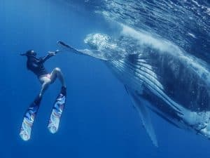 buceador nadando con ballenas jorobadas