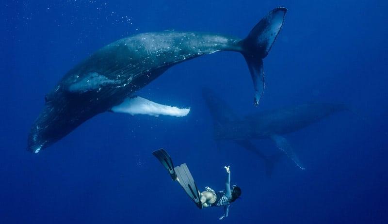 bucear con ballenas en moorea polinesia francesa