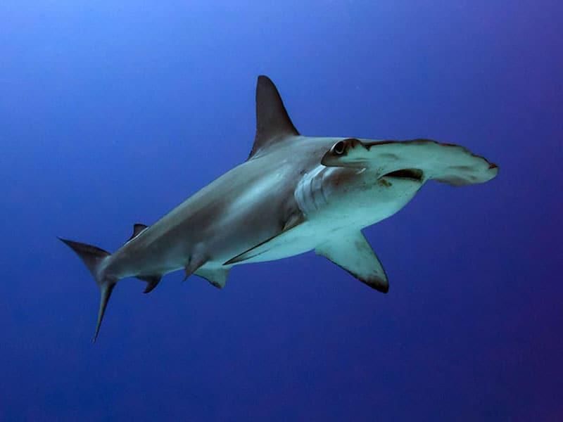 bucear con tiburon martillo
