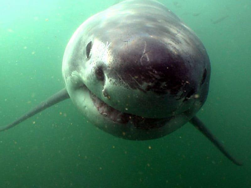 buceo con tiburon blanco en las islas farallon