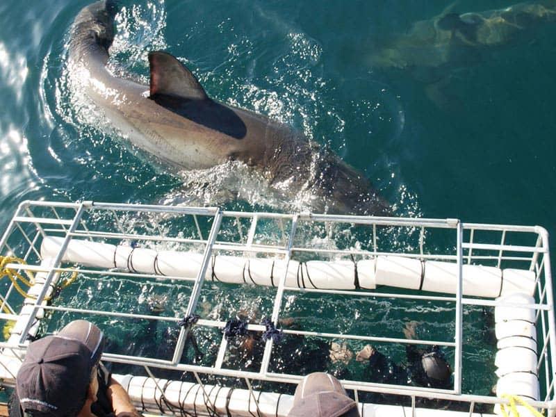 buceo con el tiburon blanco en gansbaai sudafrica