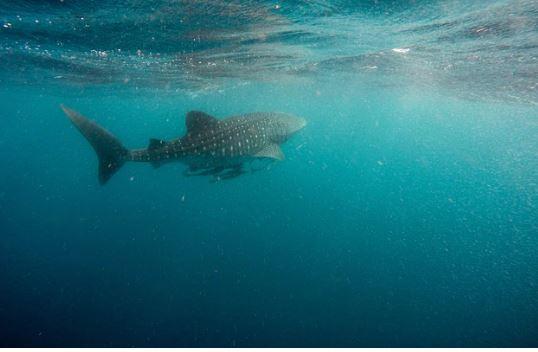 tiburon ballena belice