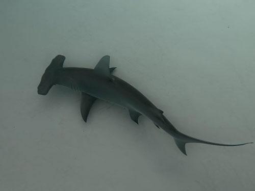 tiburon martillo bahamas