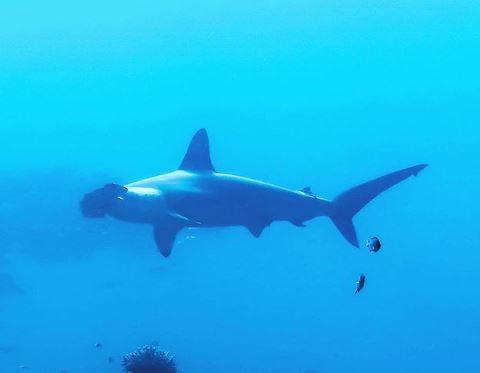 tiburon martillo panama