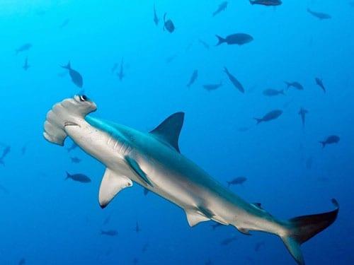 tiburon martillo polinesia francesa