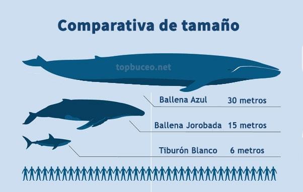 comparativa tamaño ballena azul