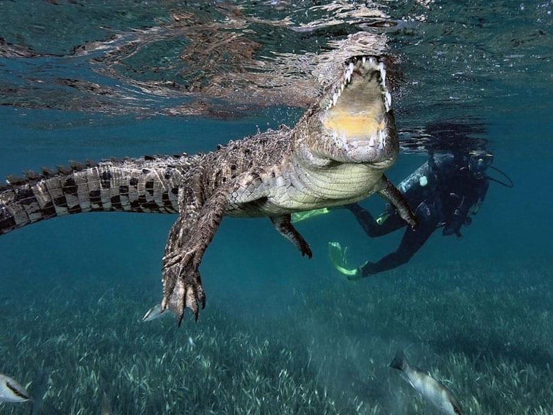 buceo cuba con cocodrilos