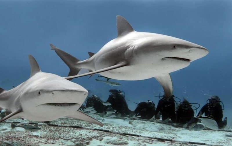 buceo con tiburones toro CUBA