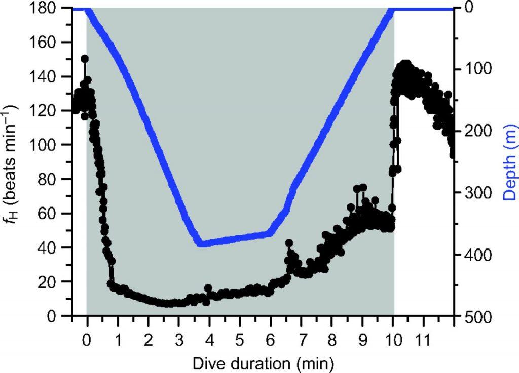 grafico frecuencia cardiaca foca reflejo de inmersion mamifero